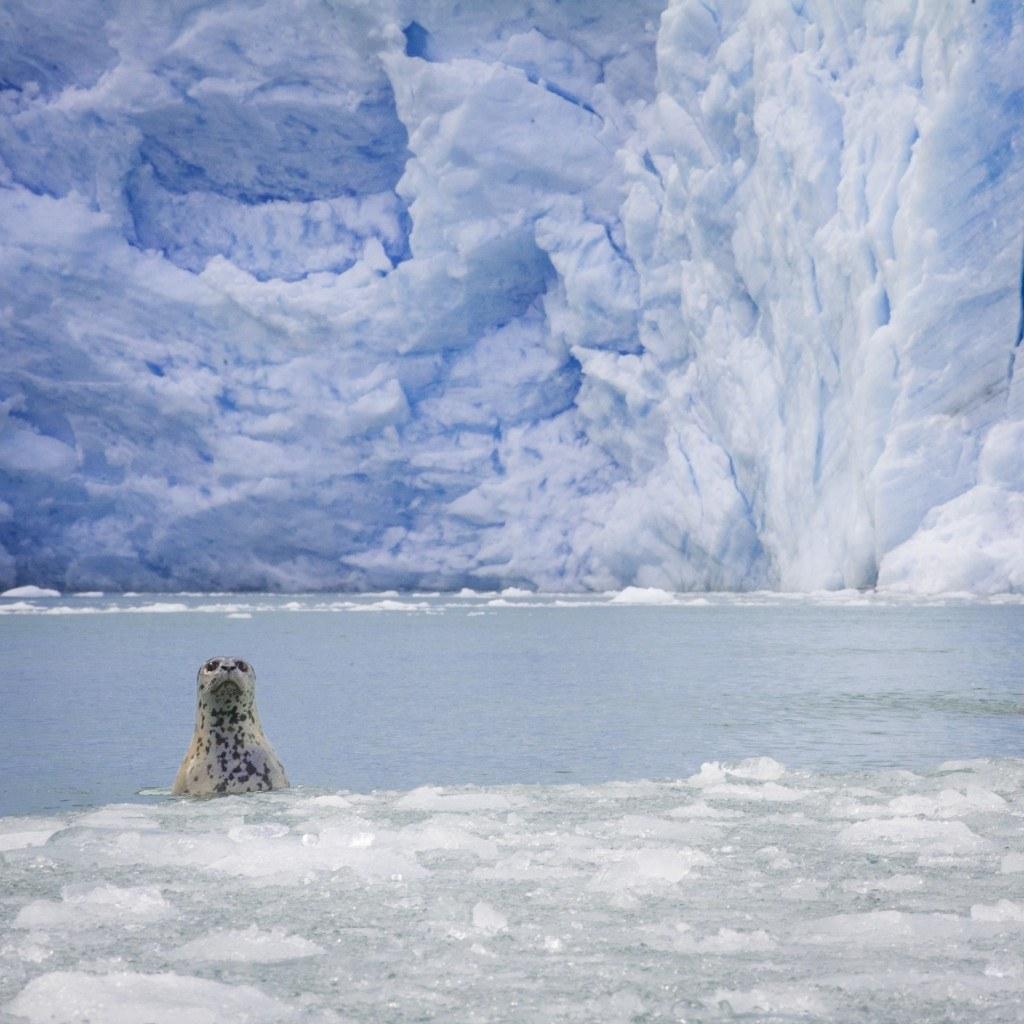 Seal Pokes Through Ice Flow in Front of Glacier, Alaska