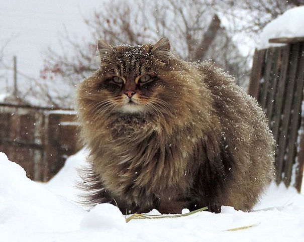 Of The Fluffiest Cats Ever ViraScoop - 25 of the fluffiest cats ever