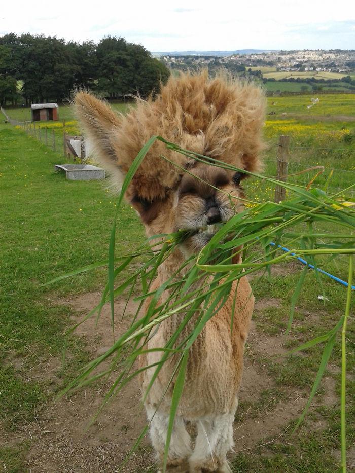 If Bruno Mars Were An Alpaca