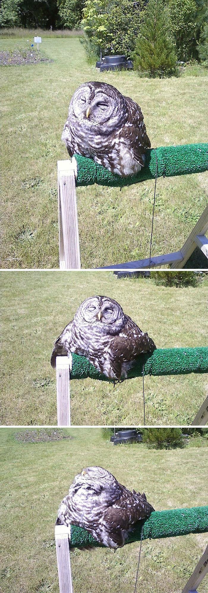 Apparently Owls Melt In Direct Sunligh