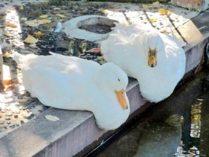 Ducks Will Start To Melt At 90° F