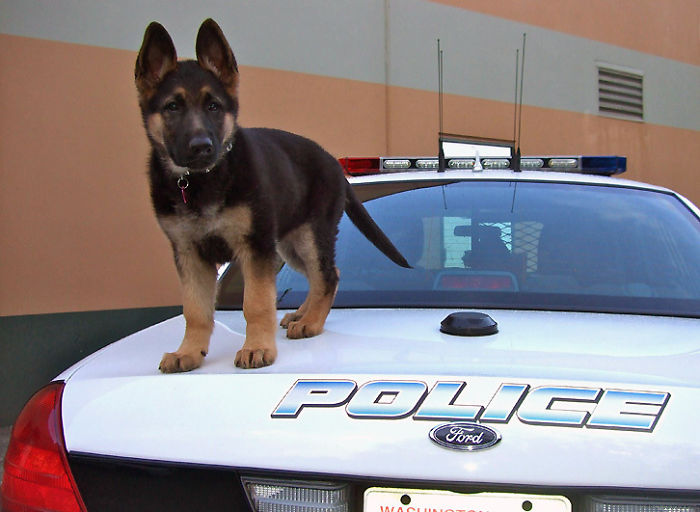 Police K-9 Puppy's First Day Of Work