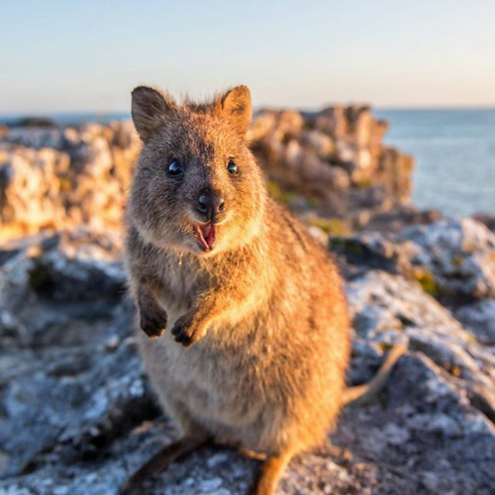 25 Happy Quokkas That Are Impossible Not To Smile At ...