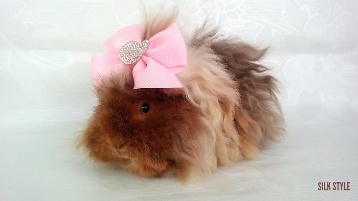 25 Guinea Pigs With The Most Majestic Hair Ever Page 2