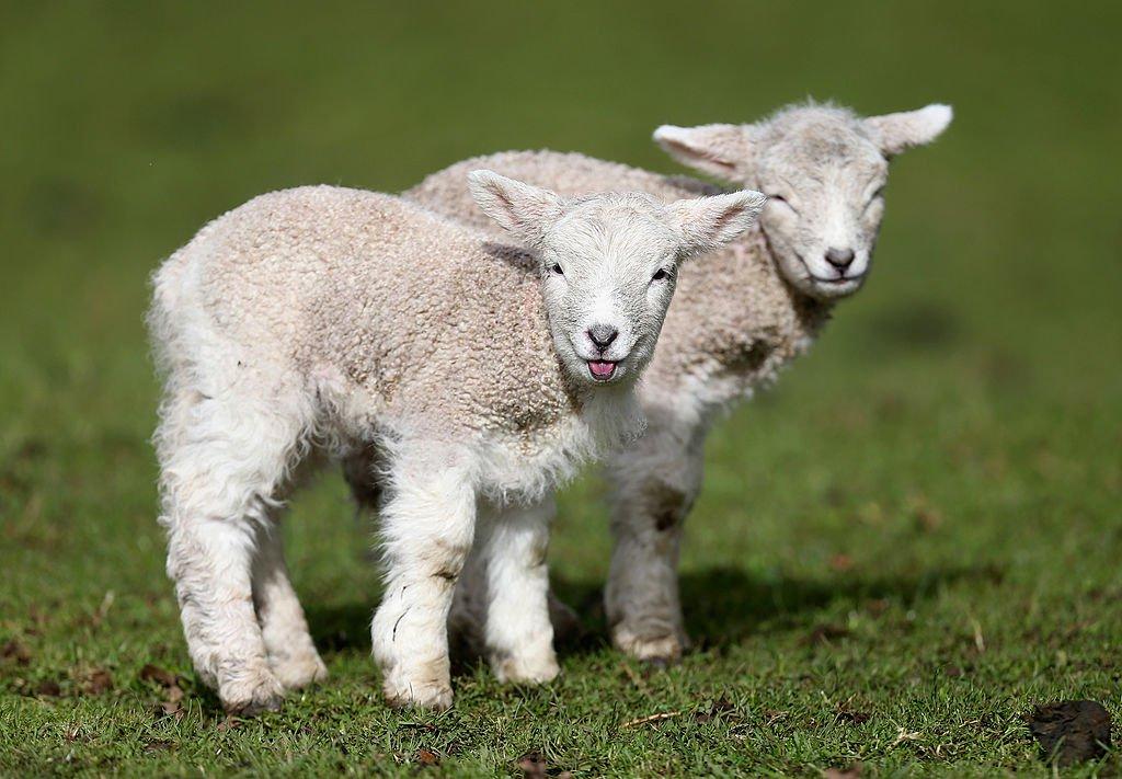 Sheep Gives Birth To Half Human Half Beast Demon GettyImages 453234816