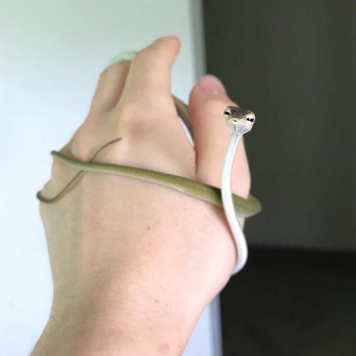 Baby Asian Vine Snake!!