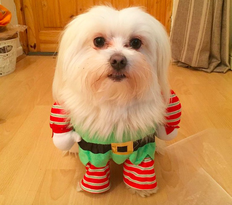 screen shot 2017 12 07 at 11 54 40 am These dogs in elf costumes are the cutest pictures youll see today